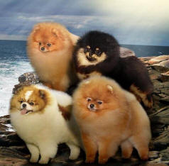 Eden Pomeranians Specializing In Pet Show And Breeding Quality Akc