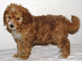 Pics For > Chocolate Mini Labradoodle Full Grown
